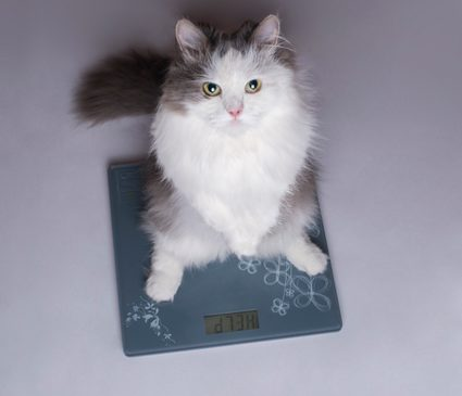 Cat on a weighing scale