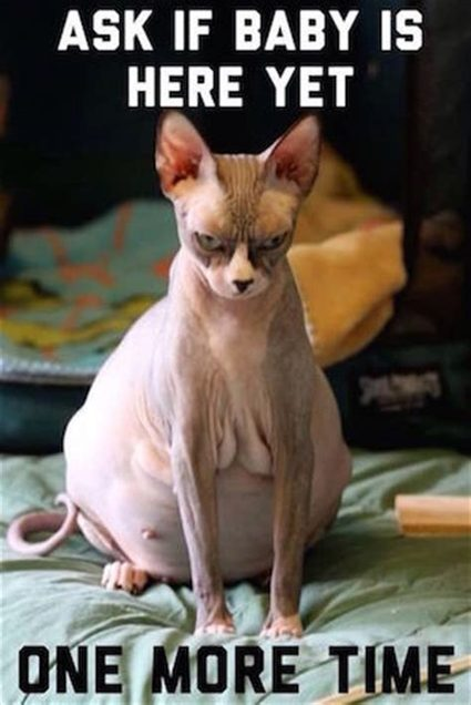 angry pregnant sphinx cat