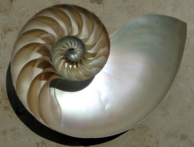 logarithmic pattern shell of a nautilus