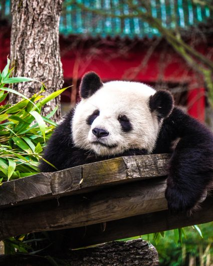 Quarantine silver linings calculator: the pandas are doing great!
