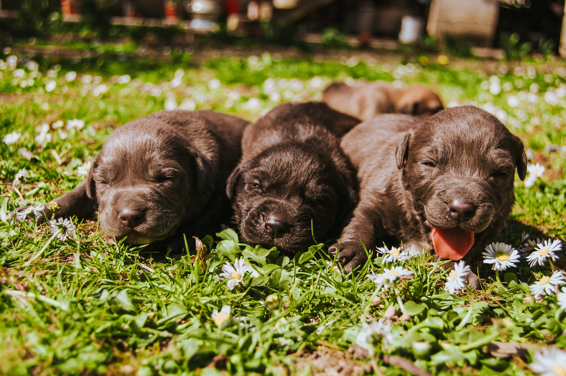 Dog pregnancy calculator tells you when puppies will be born