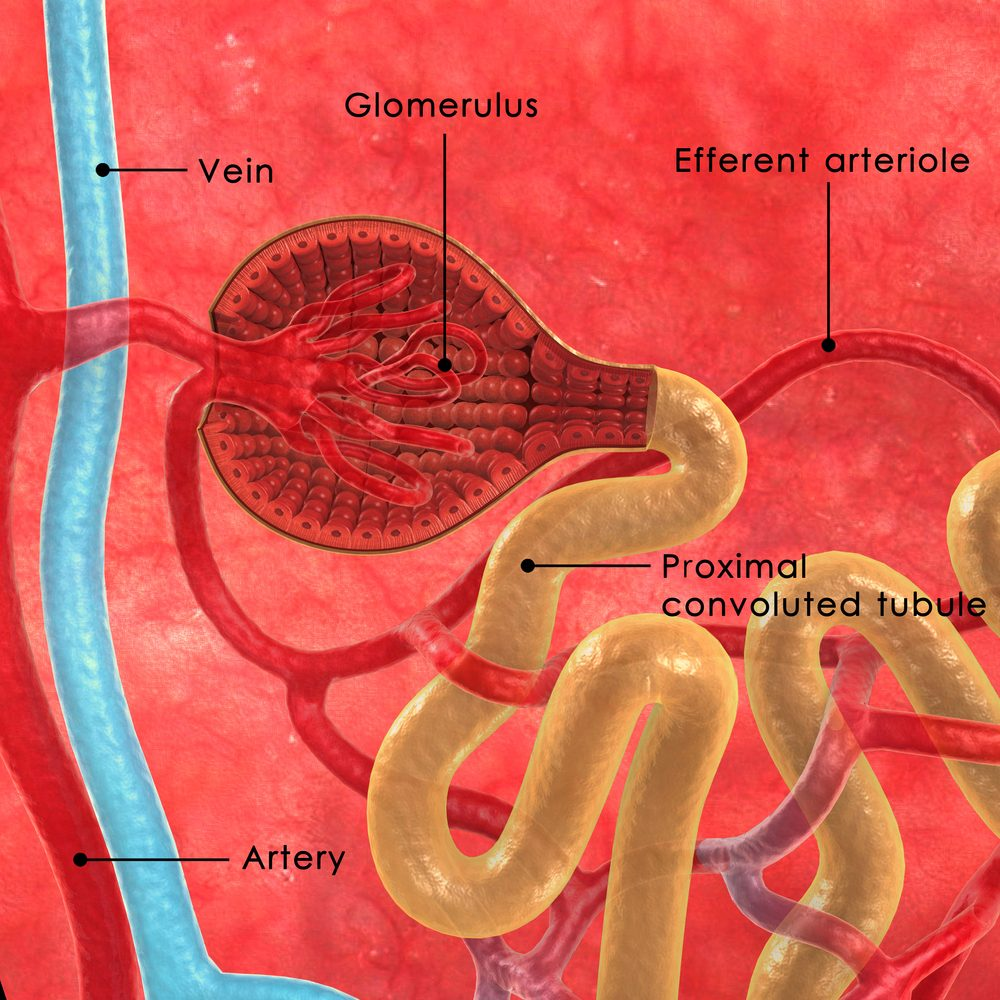 Picture of nephrons